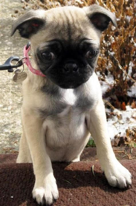 chihuahua pug mix :) SO cute! I WILL own one someday