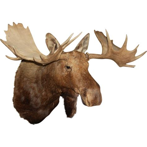 Sign petition: Restore Teddy Roosevelt's Moose Head at