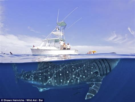 We're going to need a bigger boat! Giant 50ft shark dwarfs